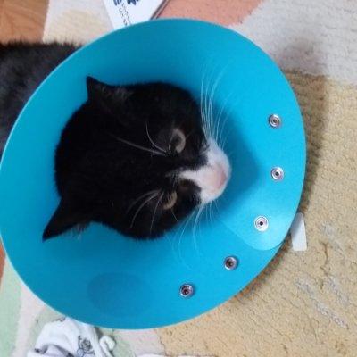 猫の膀胱炎手術